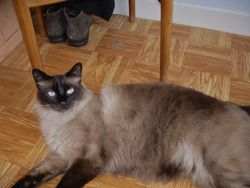 Dousik, chat Birman