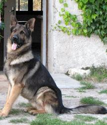 Chico, chien Berger allemand