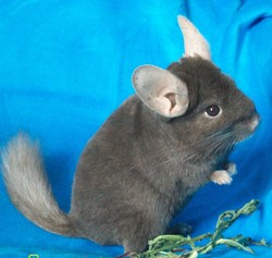Kensai, rongeur Chinchilla