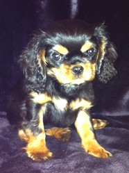 Forever Lilou, chien Cavalier King Charles Spaniel