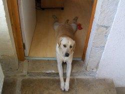 Domino, chien Labrador Retriever