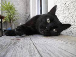 Baguera, chat Gouttière