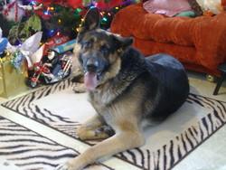 Chappy Doo, chien Berger allemand