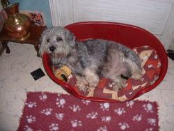 Bianca, chien Dandie Dinmont Terrier