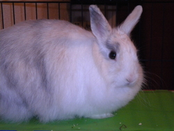 Chaussette, rongeur Lapin