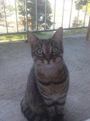 Pti Mec, chat Européen