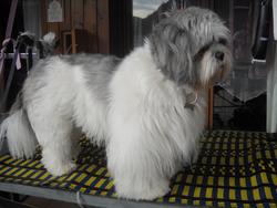 Tibet, chien Lhassa Apso