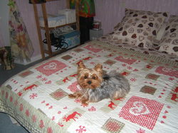 Chopin, chien Yorkshire Terrier