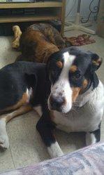Skip, chien Bouvier bernois