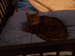 Lea, chat Gouttière