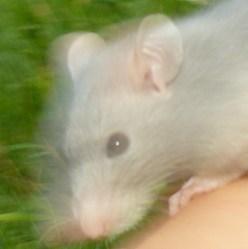 Fox, rongeur Rat
