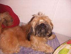 Pollux, chien Lhassa Apso
