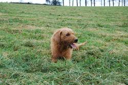 Punch, chien Griffon fauve de Bretagne