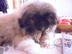 Gabin, chien Épagneul japonais