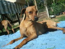 Eros, chien Pinscher