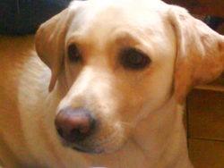 Cheyenne, chien Labrador Retriever