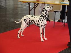 Deaf, chien Dalmatien