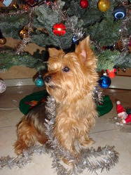 Uline, chien Yorkshire Terrier