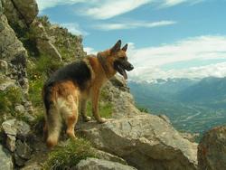 Apollo, chien Berger allemand