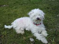 Dyxie, chien Bichon à poil frisé