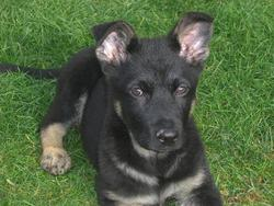 Doggy, chien Berger allemand