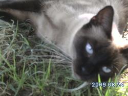 Phoebie, chat Balinais