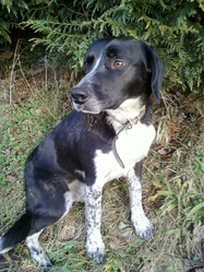 Othis, chien Pointer anglais
