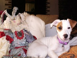 Pounky, chien Jack Russell Terrier