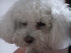 Candy, chien Bichon à poil frisé