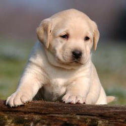 Akamaru, chien Labrador Retriever