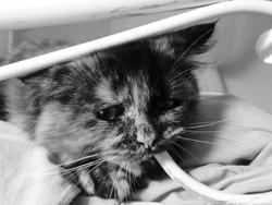 Anouche, chat Persan