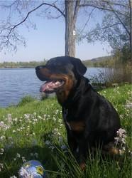 Elfy, chien Rottweiler