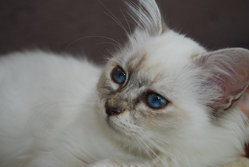Eléa, chat Birman