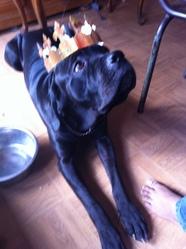 Easis, chien Cane Corso