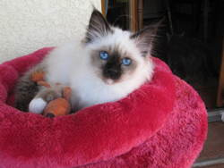 Teddy, chat Birman