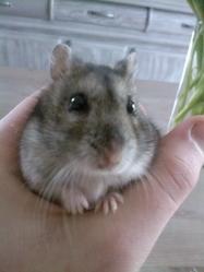 Diesel, rongeur Hamster