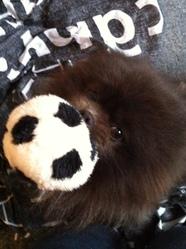 Gizmo, chien Spitz japonais