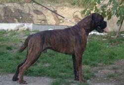 Combo Du Parfum Des Lavandes, chien Boxer
