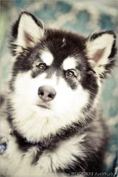 Baikal Of Articana Dreams, chien Malamute de l'Alaska
