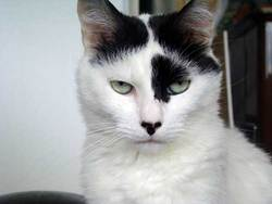 Cookie, chat Angora turc