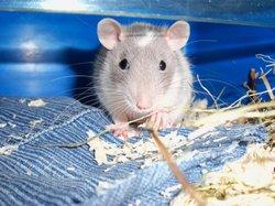 Moukie, rongeur Rat