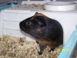 Théodore, rongeur Cochon d'Inde