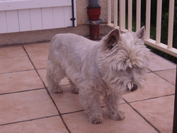 Loops, chien West Highland White Terrier