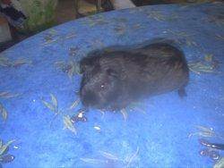 Zoe, rongeur Cochon d'Inde