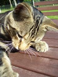 Sangha, chat Gouttière