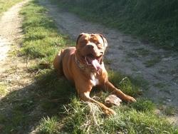 Bouba, chien Dogue de Bordeaux