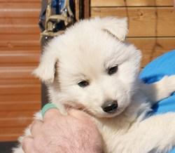 Doug, chien Berger blanc suisse