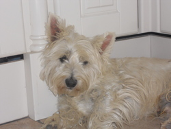 Bendjy, chien West Highland White Terrier