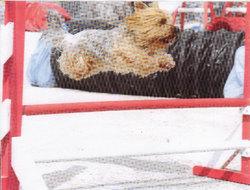 Dandy De La Vallée Du Toulourenc, chien Yorkshire Terrier