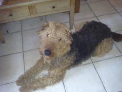 Émile, chien Airedale Terrier